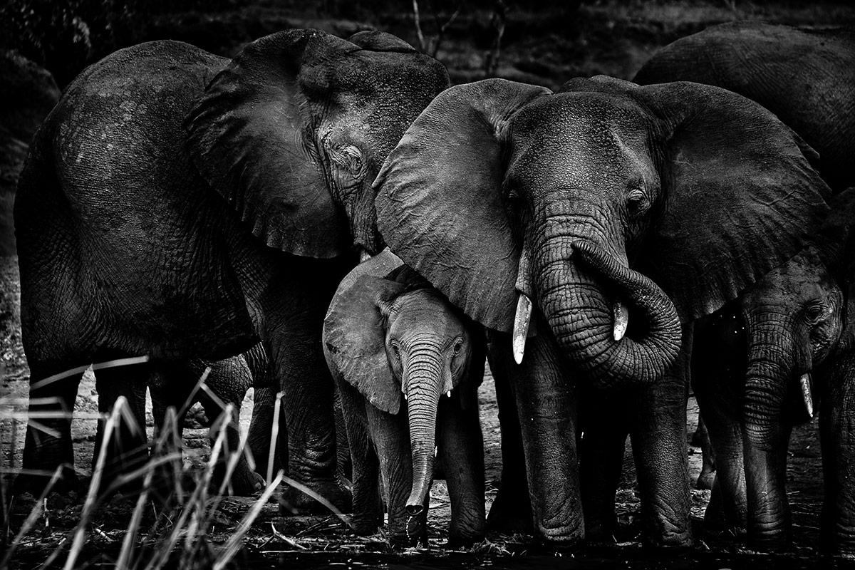 Elephant-family-Uganda